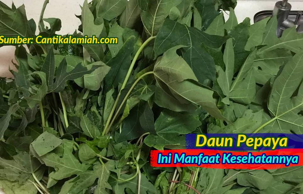 Manfaat kesehatan daun pepaya dan cara mengolah daun pepaya untuk obat